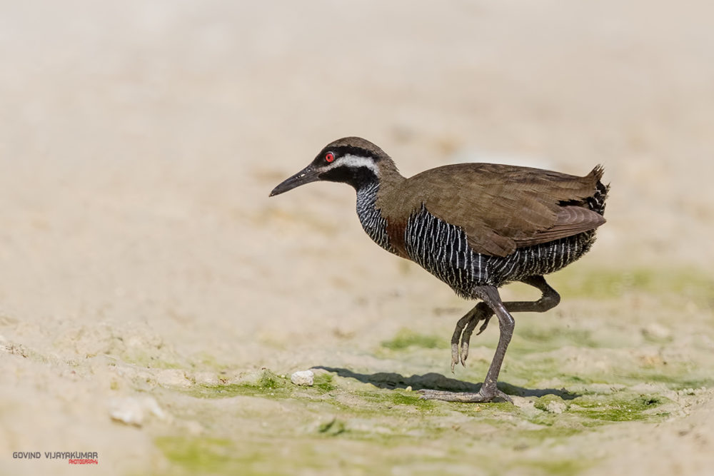 Bar Throated Rail from Mt Kitlingad, Philippines