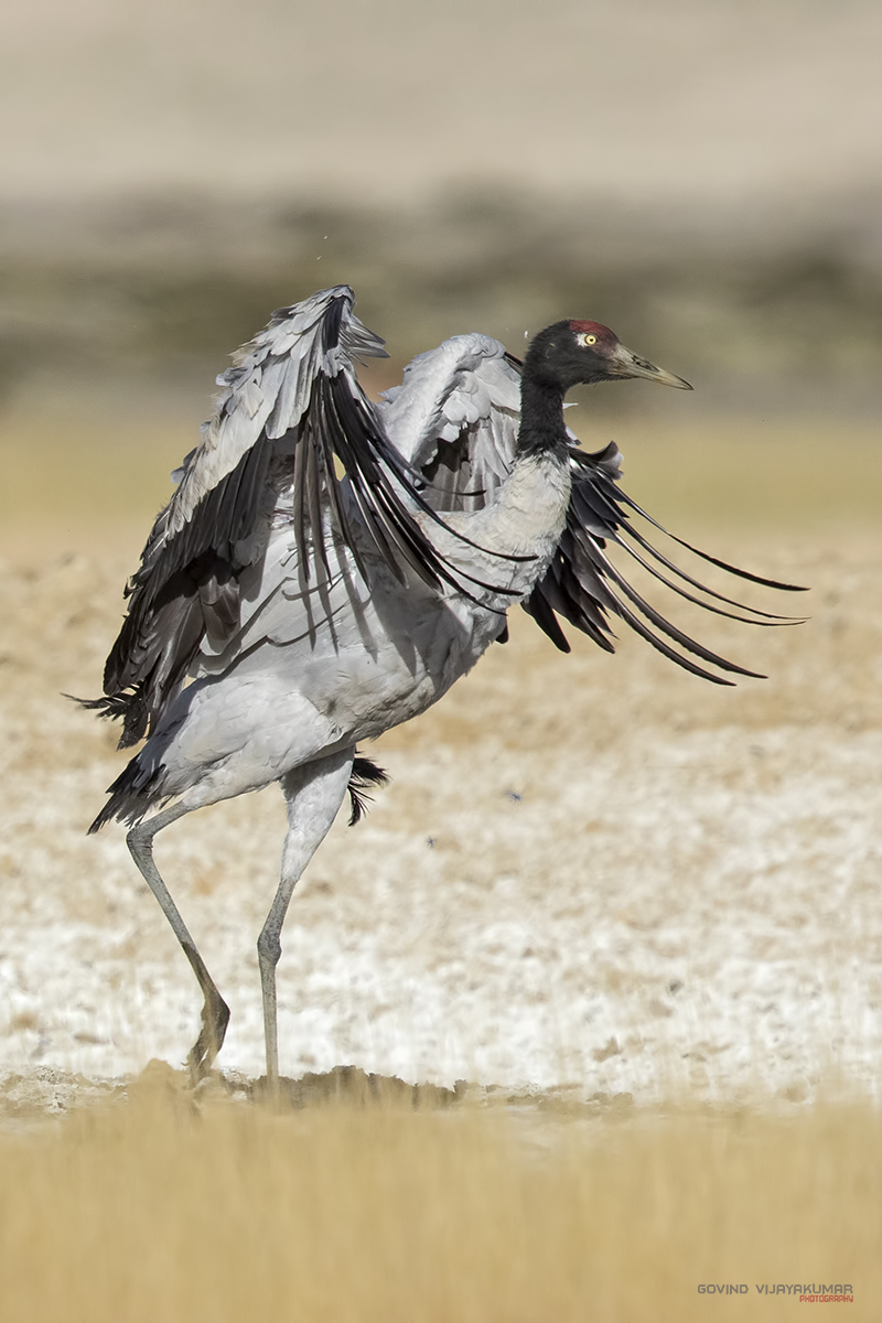 Black-necked Crane from Chishyul, Ladakh