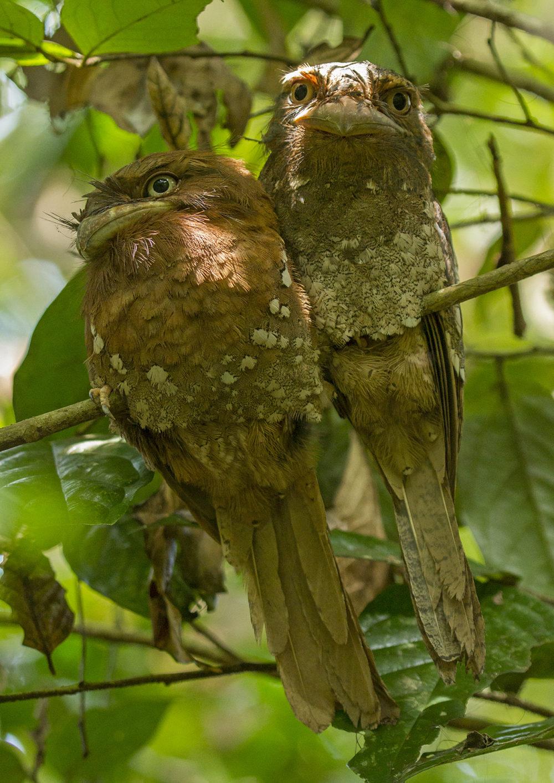Ceylon Frogmouth pair from Thattekkad, Kerala