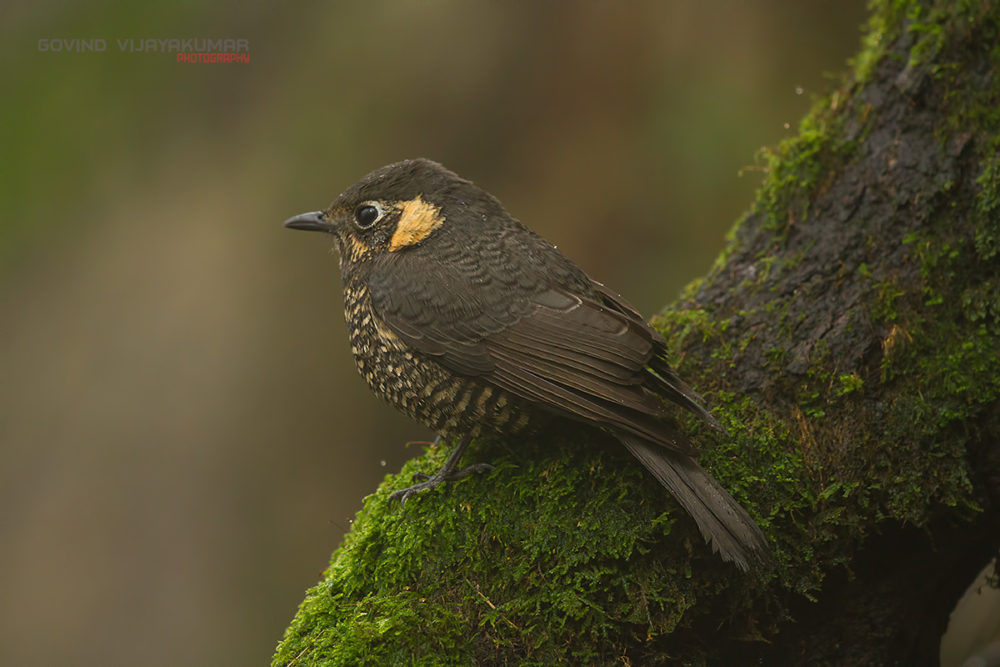 Chestnut bellied Rockthrush (Female) from Pangot, Uttarakhand