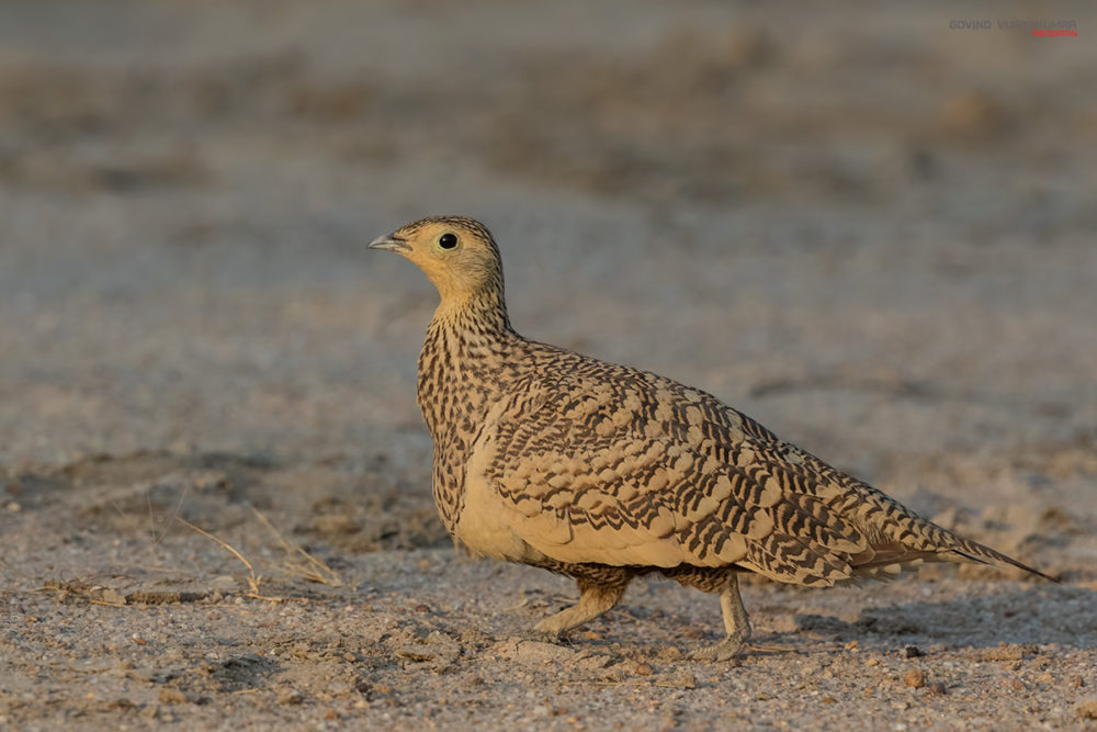 Chestnut bellied Sandgrouse (Female) from Little Rann Of Kutch, Gujarat
