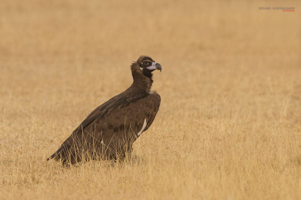 Cinerous Vulture (Sub adult) from Bikaner, Rajasthan