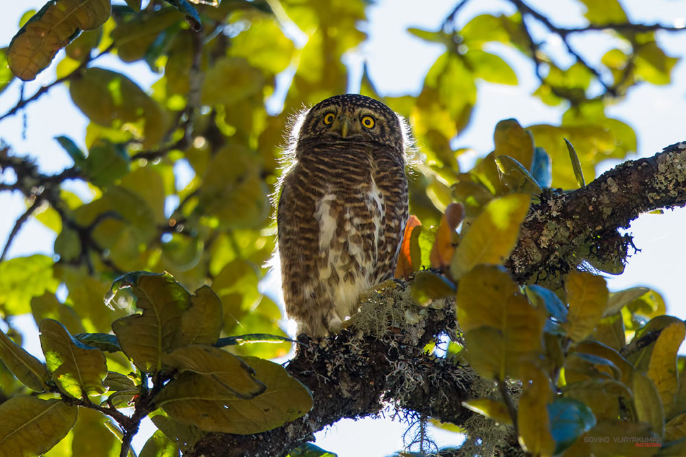 Collared Owlet from Chopta, Uttarakhand