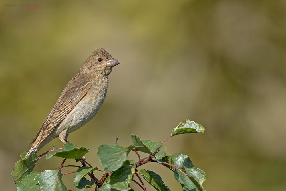 Common Rosefinch (Female) from Nubra Valley, Ladakh
