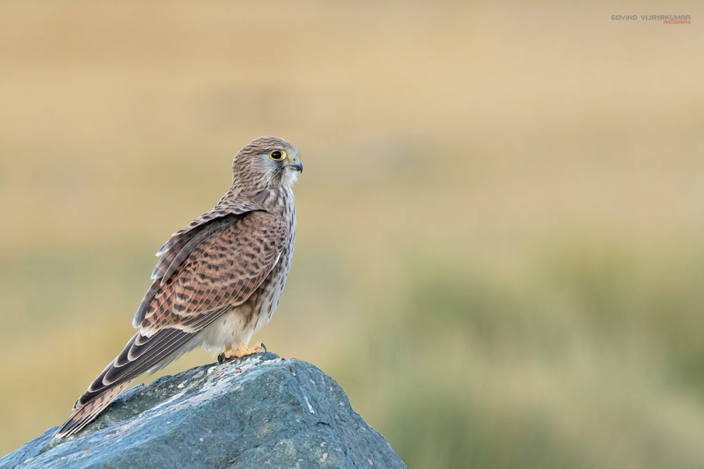 Common Kestrel from Ladakh