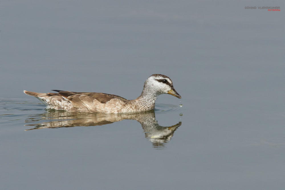 Cotton Pygmy Goose (Female) from Mysore