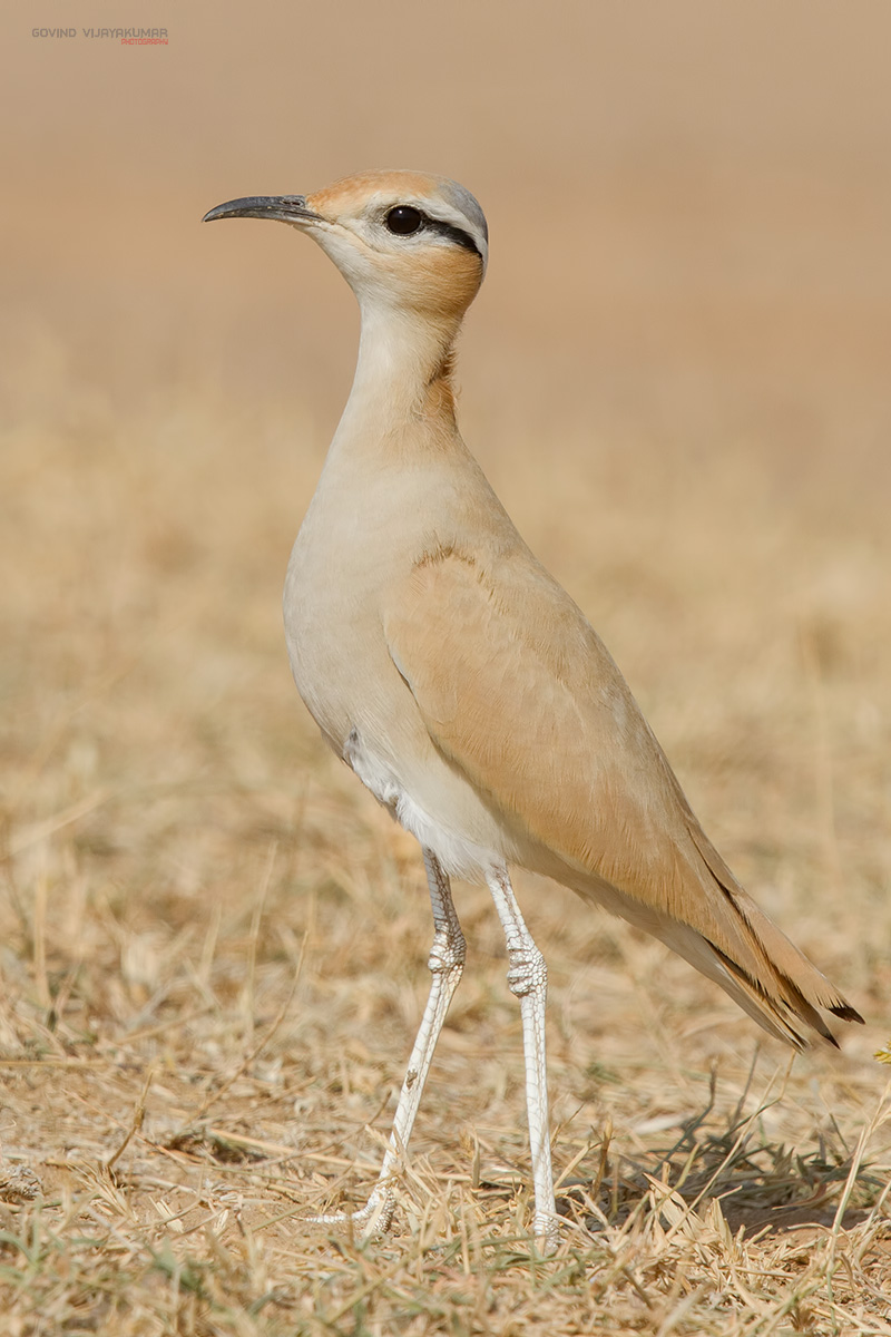 Cream Coloured Courser from Desert National Park, Rajasthan