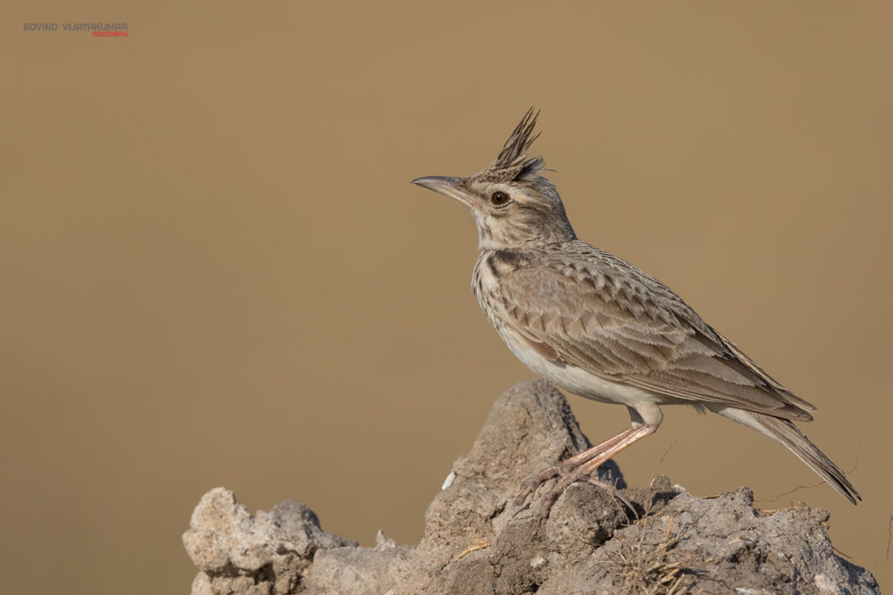 Crested Lark from Little Rann of Kutch, Rajasthan