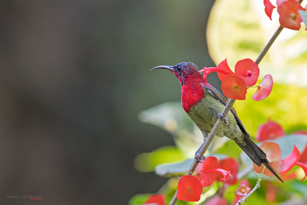 Crimson Sunbird from Kaziranga, Assam