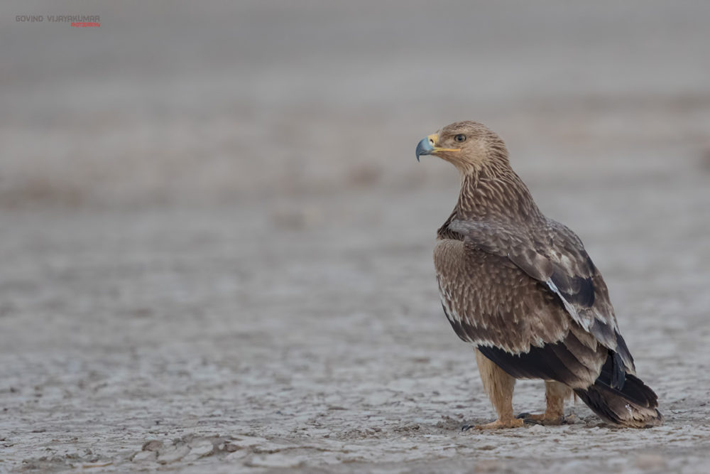 Eastern Imperial Eagle from Little Rann Of Kutch, Gujarat