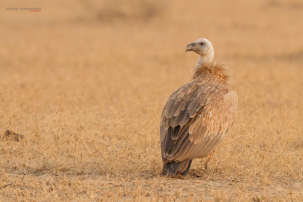 Eurasian Griffon Vulture from Bikaner, Rajasthan
