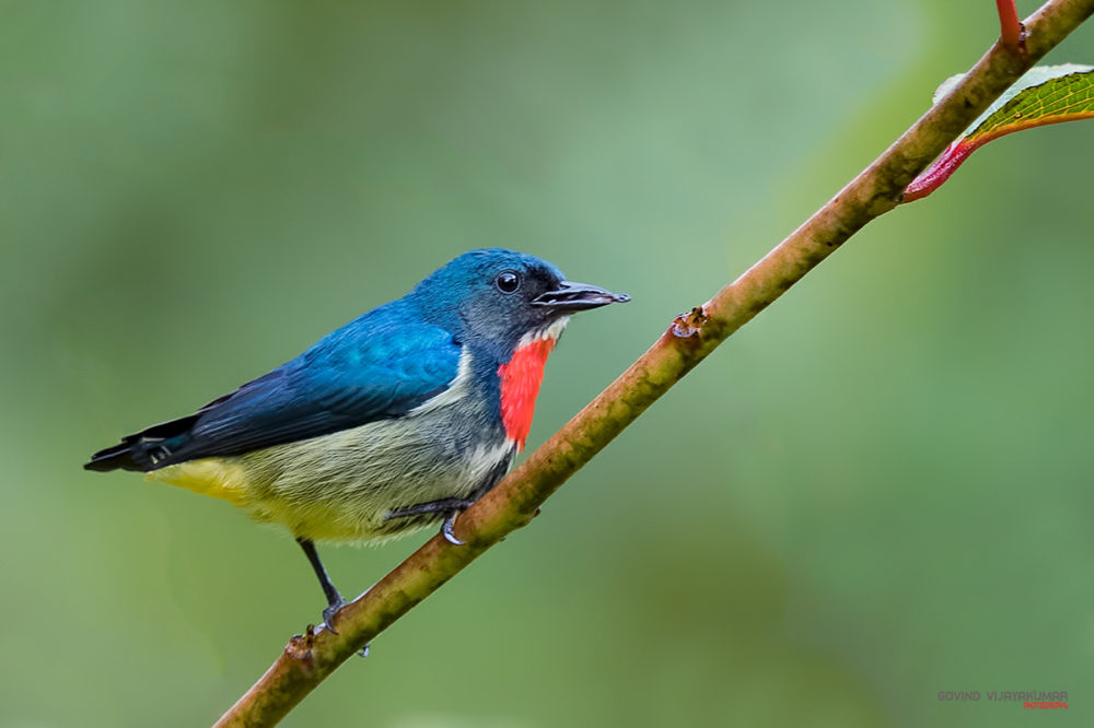Fire breasted Flowerpecker from Mindanao, Philippines