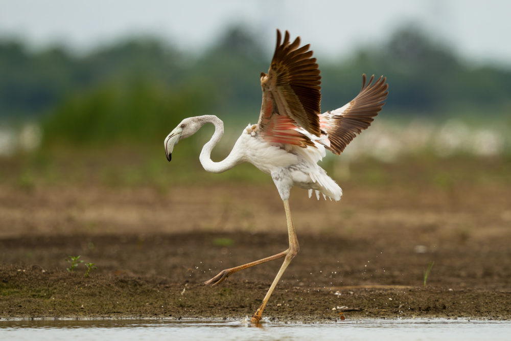 Greater Flamingo In action from Ousteri lake, Pondicherry