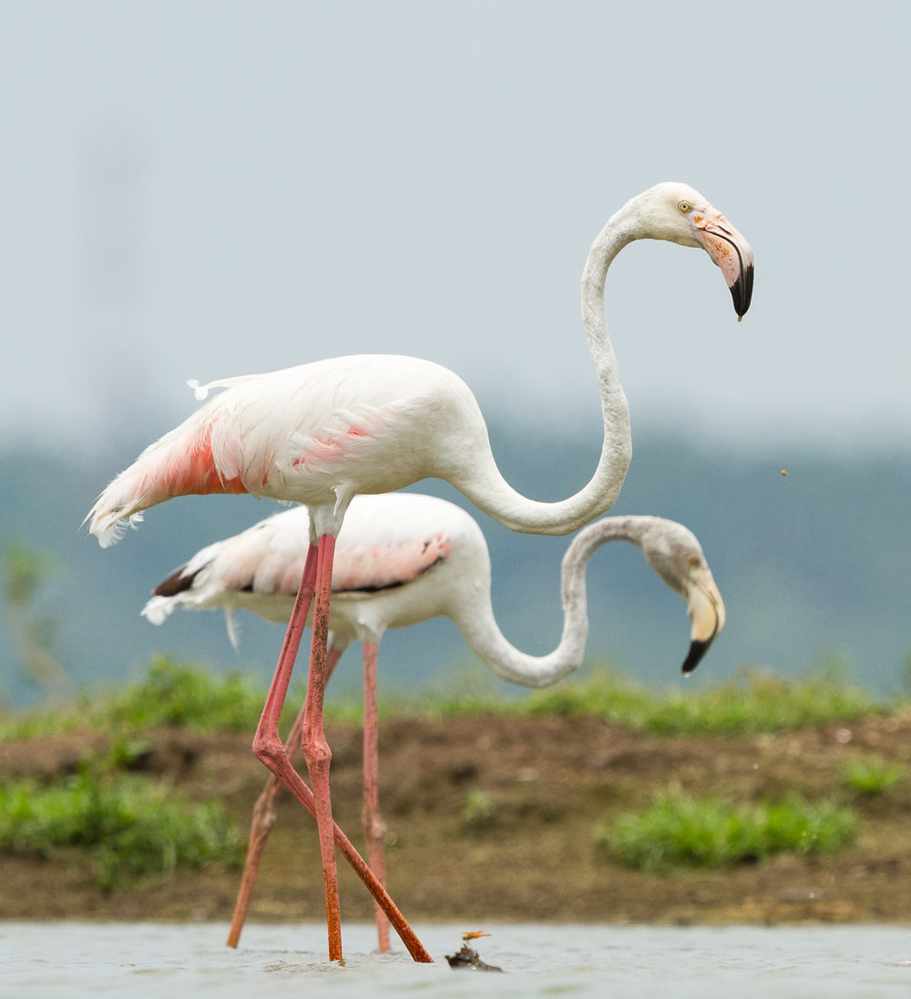 Greater Flamingo Duos from Ousteri Lake, Pondicherry