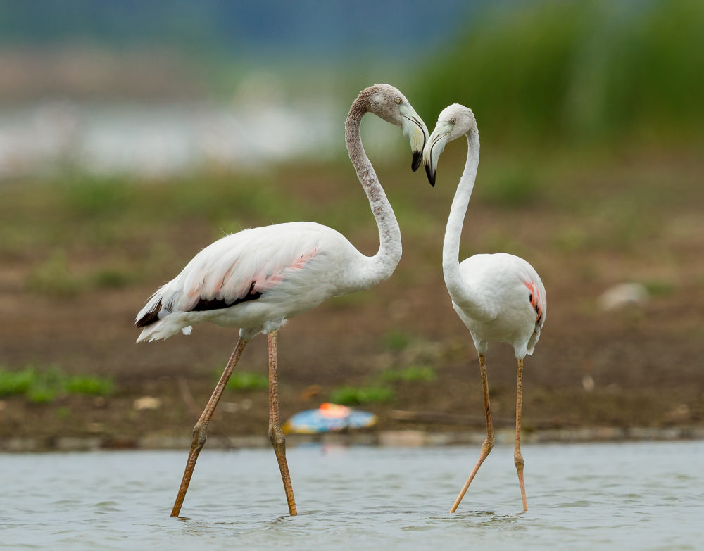 Greater Flamingos in Love from Ousteri Lake, Pondicherry
