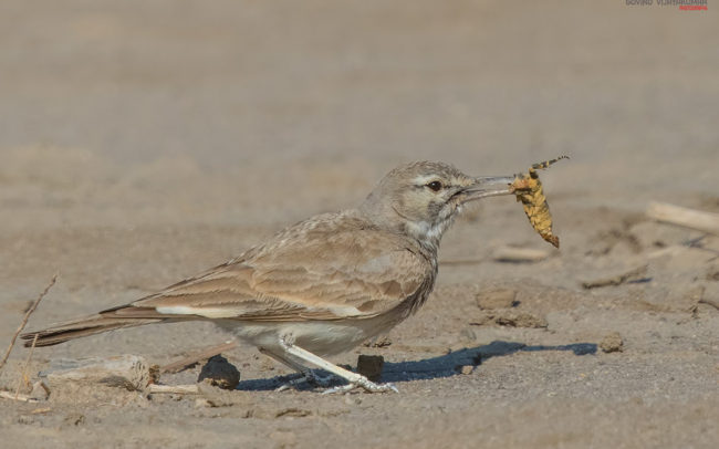 Greater Hoopoe Lark with a Kill from Little Rann Of Kutch, Gujarat