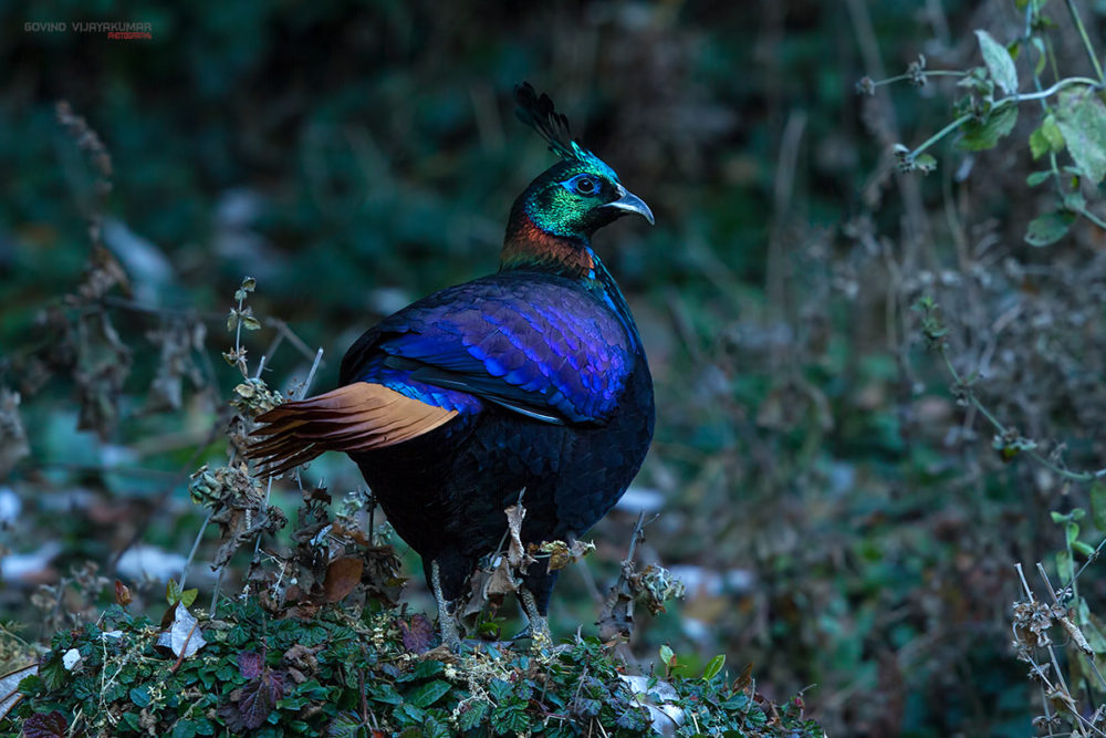 Himalayan Monal (Male) from Chopta, Uttarakhand
