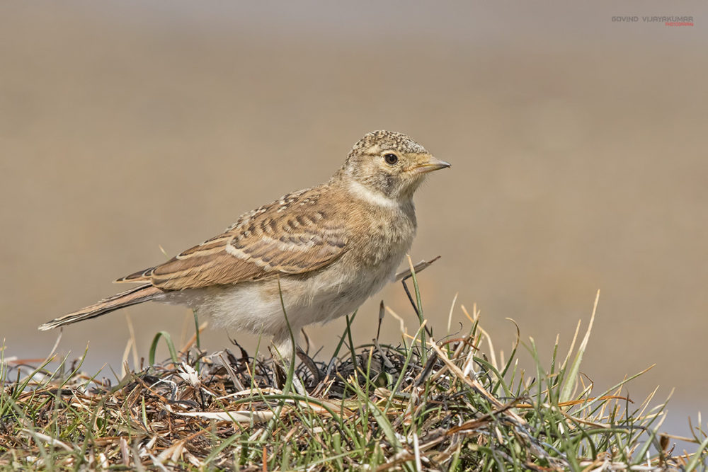 Horned Lark (Juvenile) from Pangong Lake, Ladakh, Jammu & Kashmir