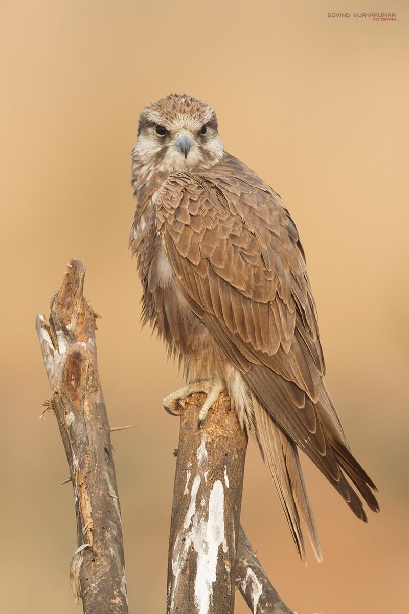 Laggar Falcon from Tal Chappar, Rajasthan