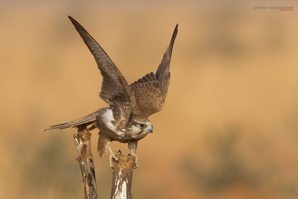 Laggar Falcon ready to take off from Tal Chappar, Rajasthan