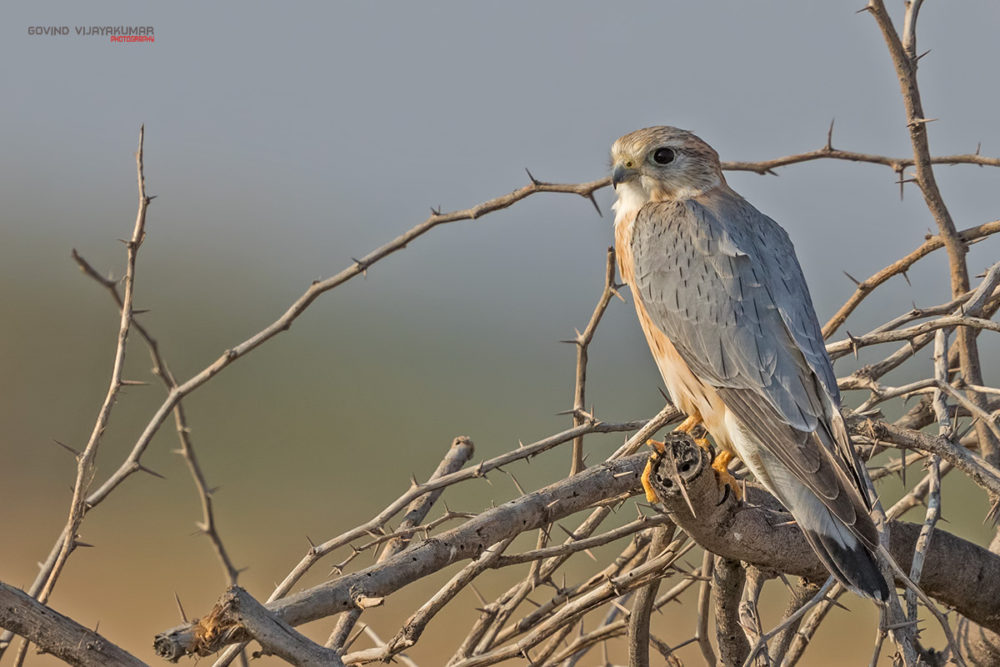 Merlin from Little Rann Of Kutch, Gujarat