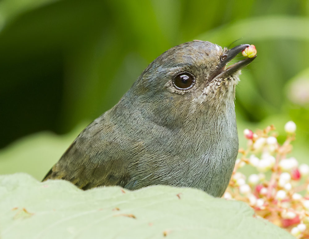 Nilgiri Flycatcher (female) feeding on flowers from Ooty, Tamil Nadu