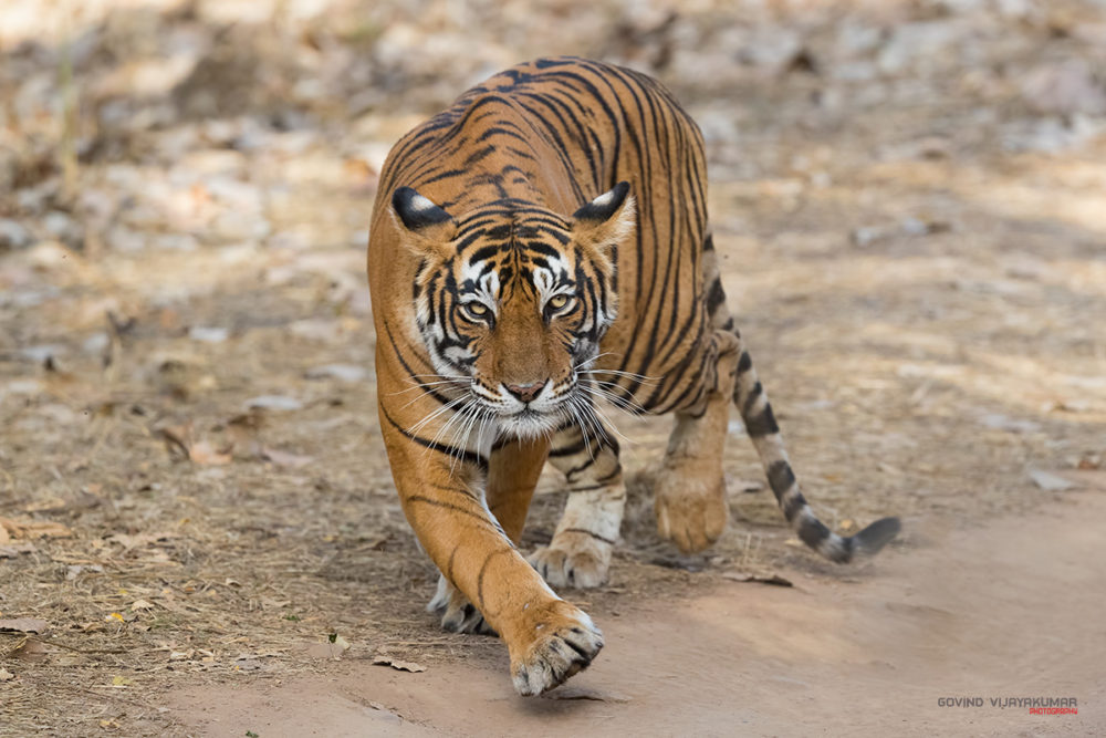 Catwalk- Tigress Noor from Ranthambore, Rajasthan