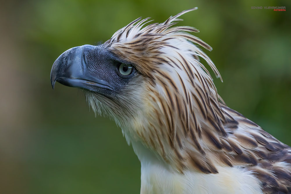 Philippine Eagle from Philippines