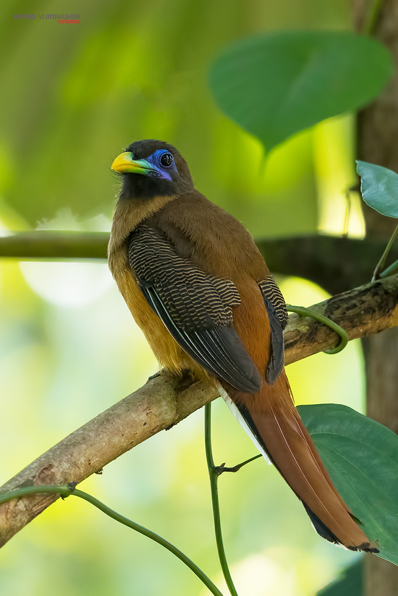 Philippine Trogon (Female) from Mindanao, Philippines