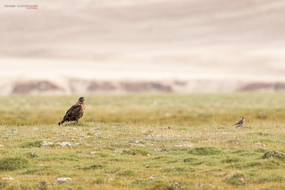 Upland Buzzard ladakh