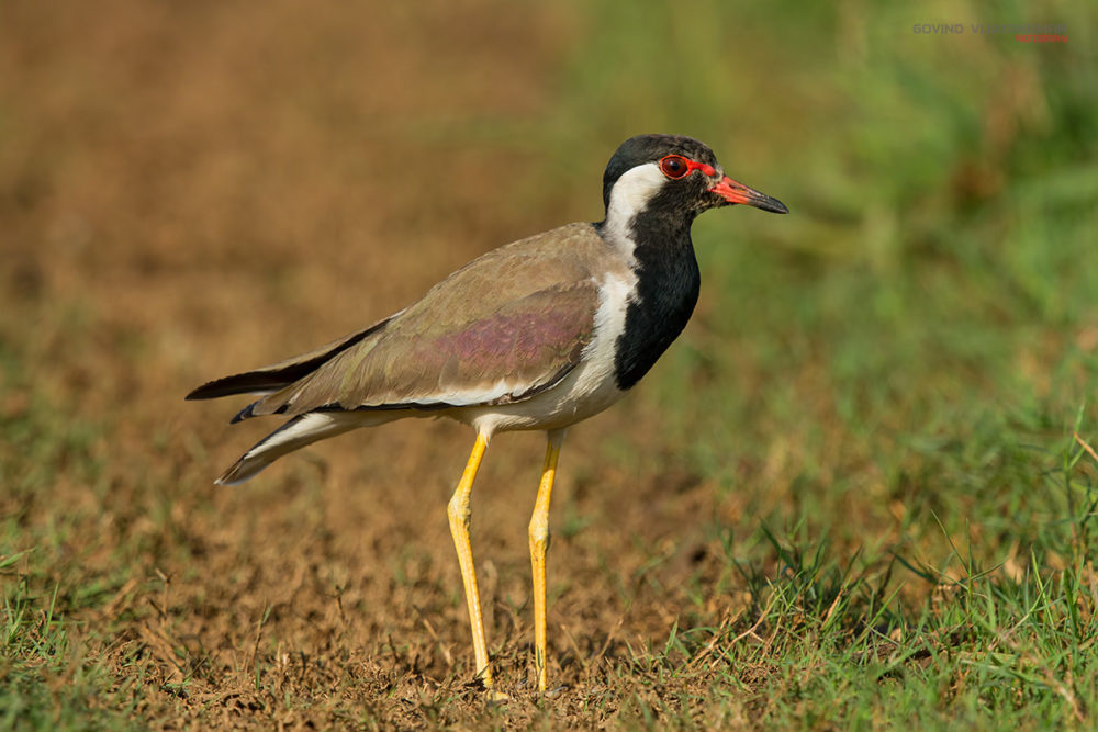 Red wattled Lapwing from Hesarghatta, Karnataka