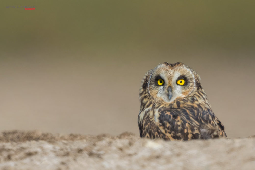 Short eared Owl from Little Rann Of Kutch, Gujarat
