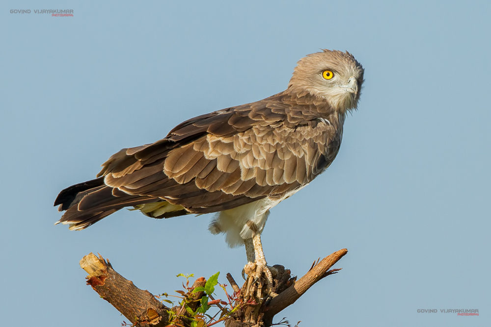 Short toed Snake eagle from Maidenahalli, Karnataka