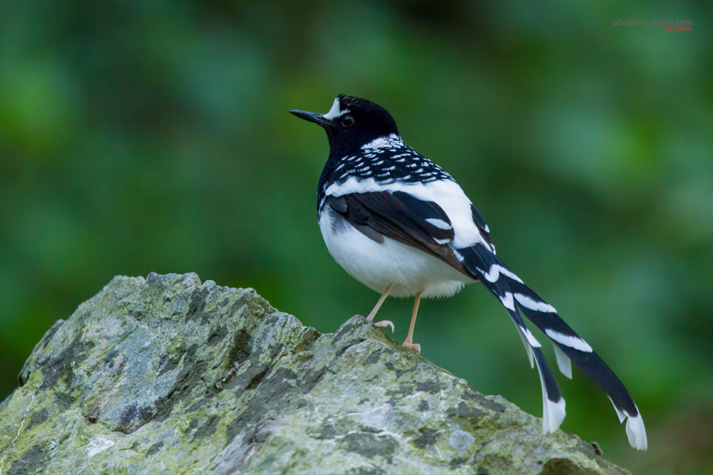 Spotted Forktail from Sattal, Uttarakhand