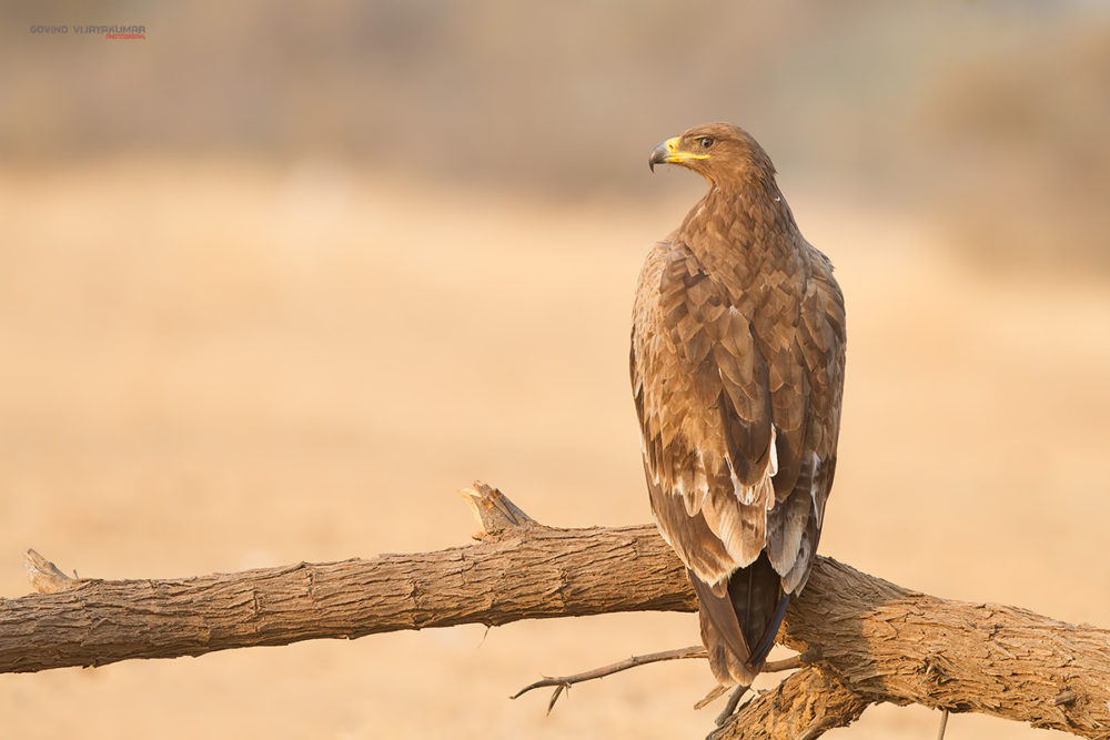 Steppe Eagle from Bikaner, Rajasthan