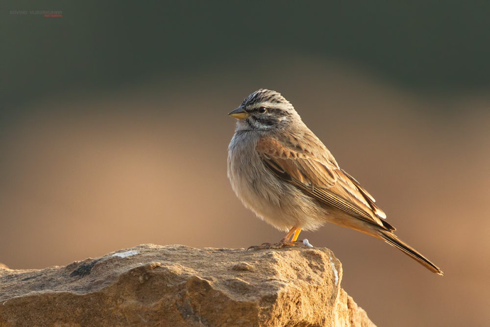 Striolated Bunting Govind Vijayakumar Photography