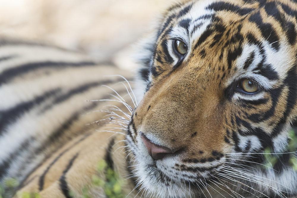 Tiger Cub from Ranthambore, Rajasthan