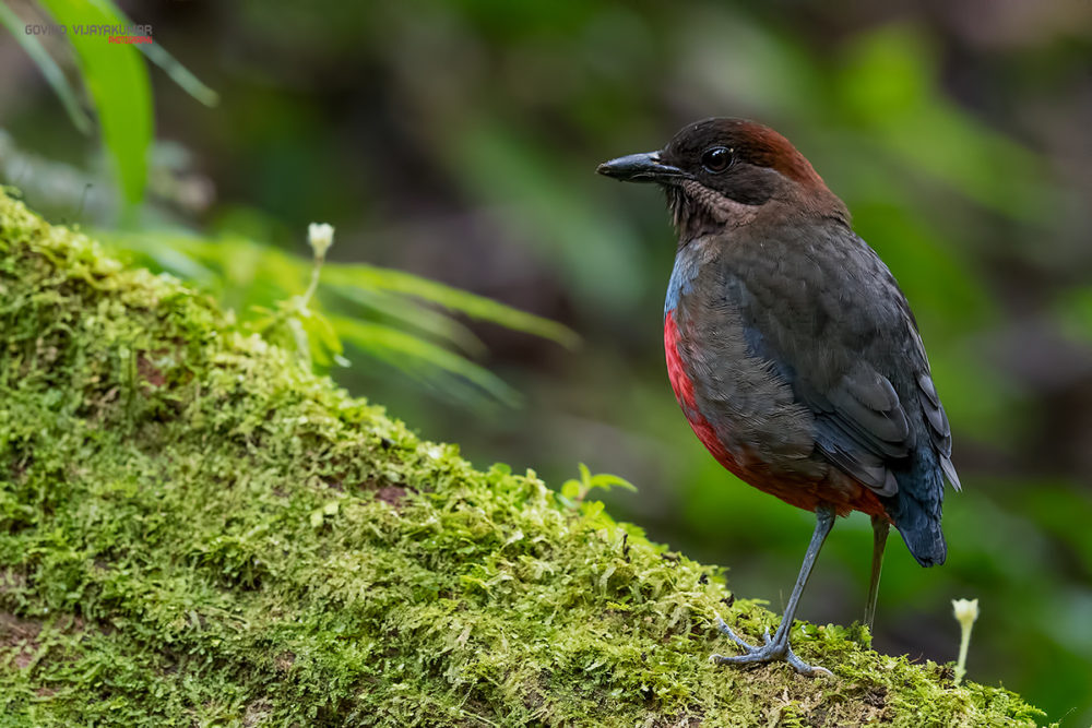 Whiskered Pitta (Female) from BK Valley, Philippines