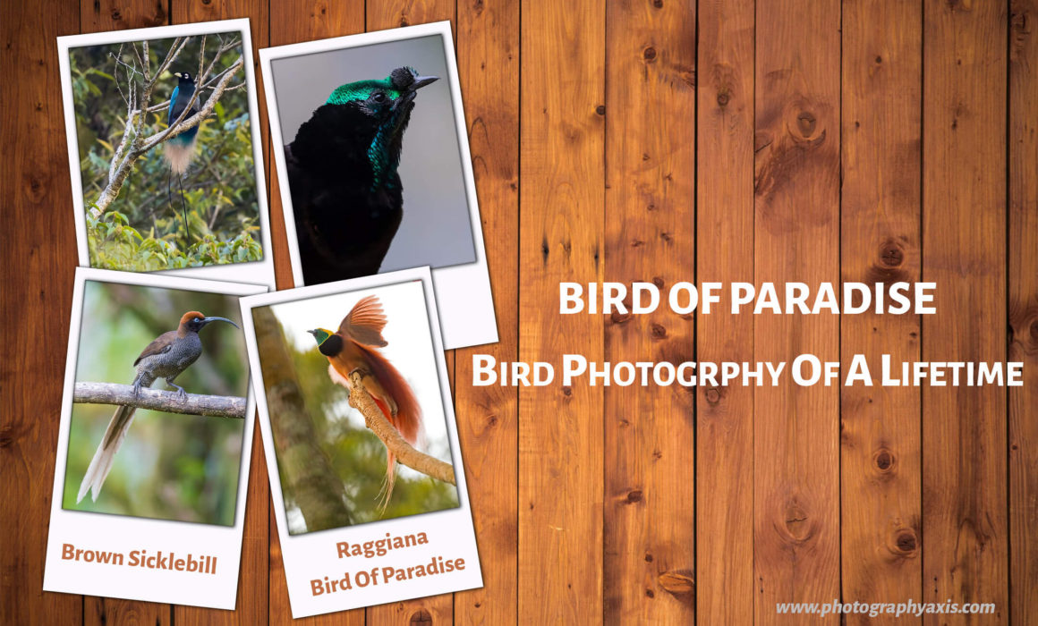 Bird of Paradise Bird Photography