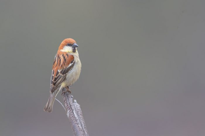 High Contrast Image of Russet Sparrow