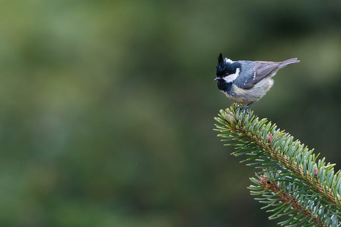 White-vented Tit
