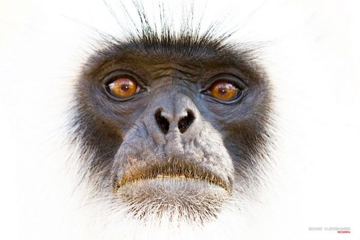 High key image of Gray Langur