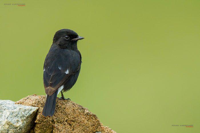 Pied Bushchat Bird