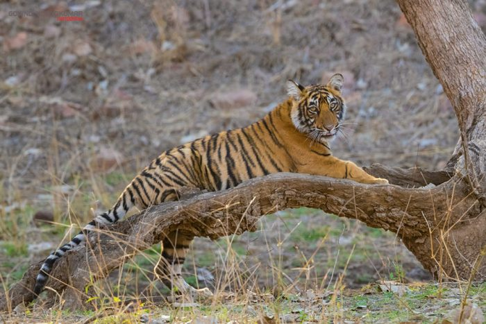 Tiger Cub from Ranthambore
