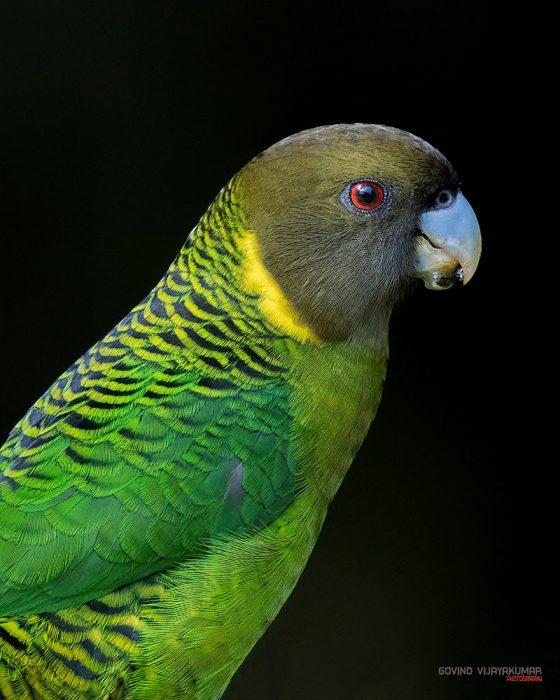 Brehms Tiger Parrot