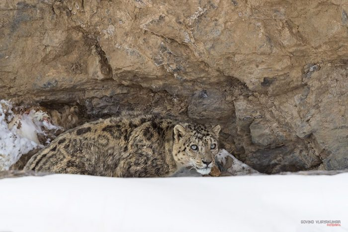 Snow Leopard photography