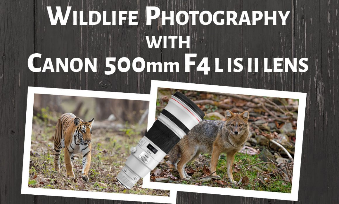 Wildlife Photography with Canon 500mm f4 L IS II Lens