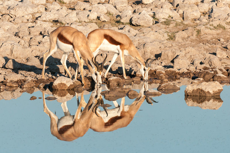 Two Springboks drinking water with its reflection