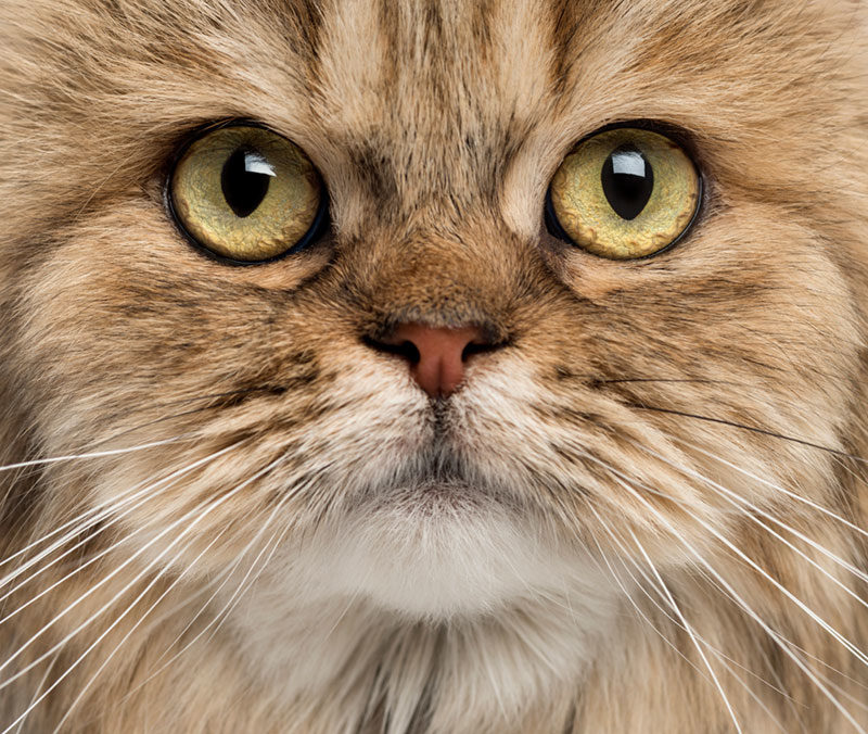 Cat Close up