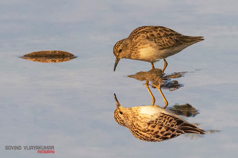 Long toed Stint with Reflection